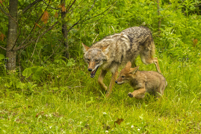 USA, Minnesota, Pine County. Coyote mother with pup.