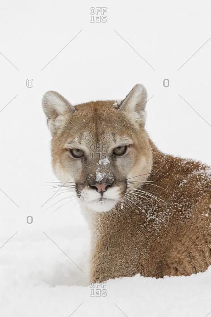 Cougar or Mountain Lion in deep winter snow.