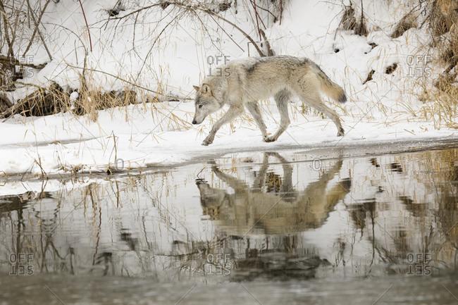 Tundra wolf in winter, Montana.