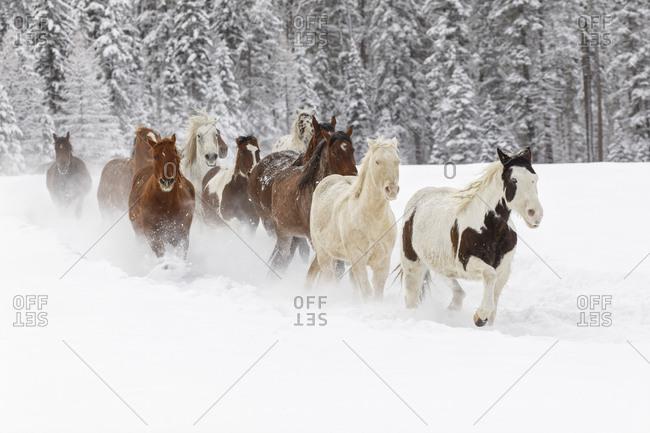 Horses running through fresh snow during roundup, Kalispell, Montana.
