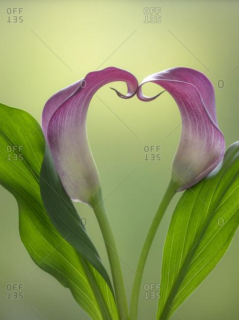 USA, Washington State, Seabeck. Calla lily valentine shape.