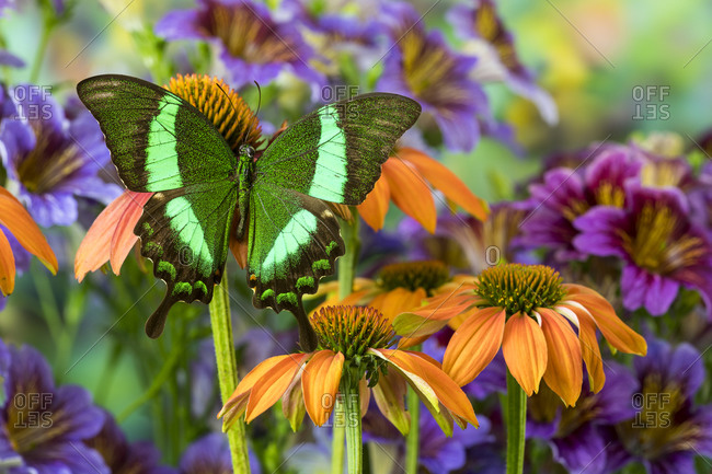 Green swallowtail butterfly, Papilio palinurus daedelus on orange coneflowers and painted tongue