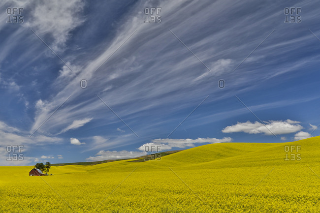 Canola field in full bloom Palouse Country of Eastern Washington