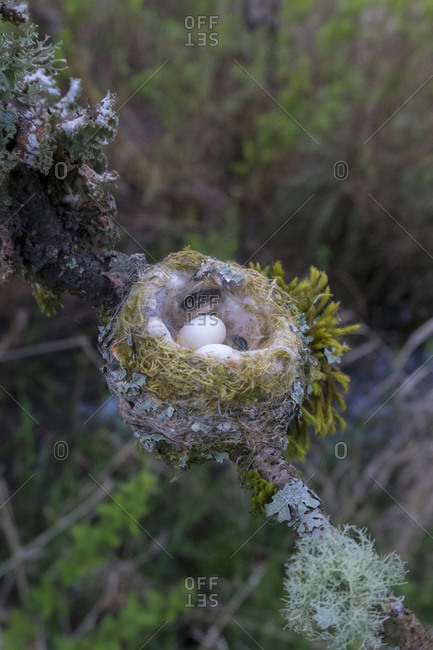 USA, Washington State. Anna's Hummingbird (Calypte anna) nest with two eggs, made of plant down, moss, spider web and lichen. Redmond.