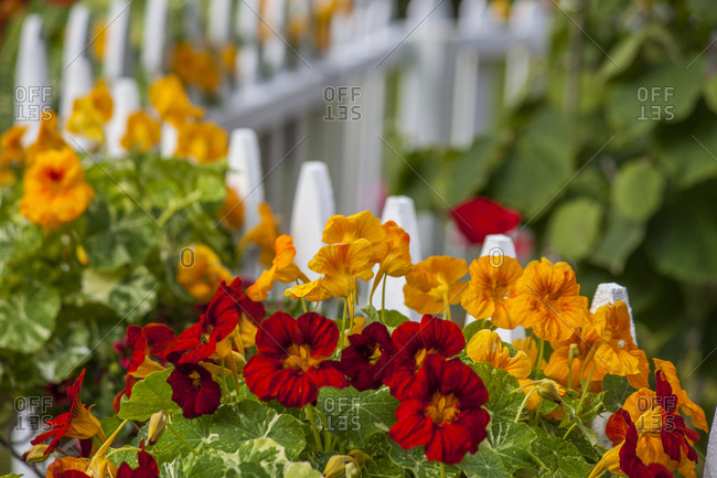 USA, Washington State, Sequim, early summer blooming nasturtiums with white picket fence.