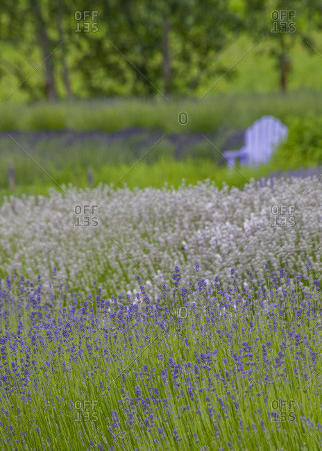 USA, Washington State, Sequim, early summer blooming Lavender fields with lavender chair in background