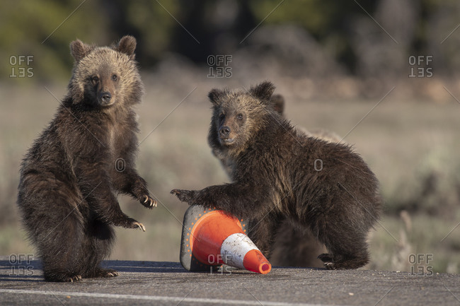 USA, Wyoming, Glacier National Park. Yearling grizzly cubs play with traffic cone on road.