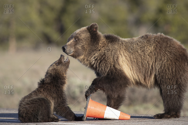 USA, Wyoming, Grand Teton National Park. Yearling grizzly cub seeks motherly attention.