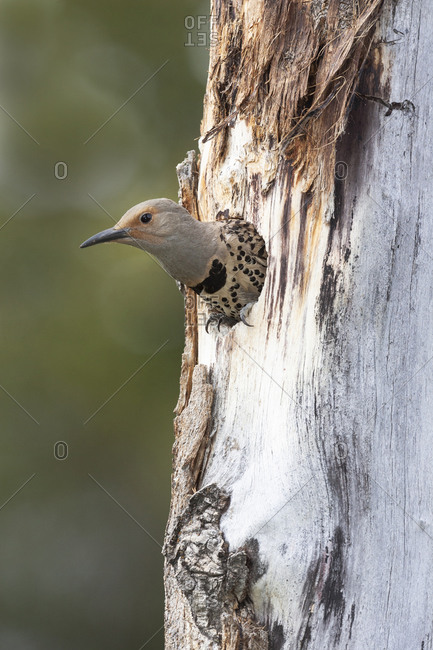 Yellowstone National Park, a female northern flicker emerges from its nest hole.