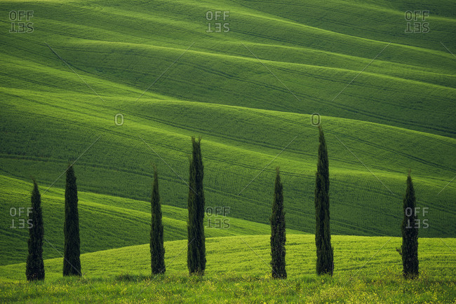 May 3, 2016: Europe, Italy, Tuscany, Val d' Orcia. Cypress trees and wheat field.