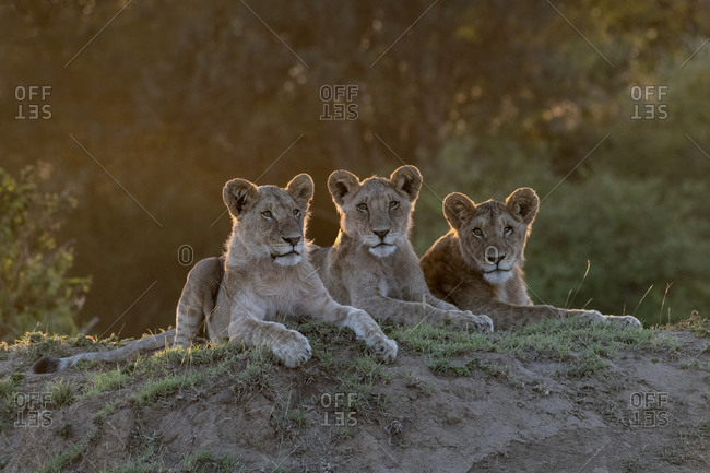 Africa, Kenya, Maasai Mara National Reserve. Close-up of three resting lionesses.