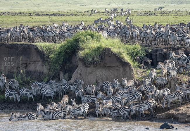 Africa, Kenya, Maasai Mara National Reserve. Zebras crossing Mara River.
