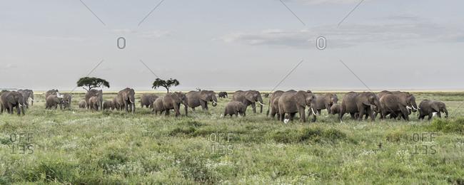 Africa, African elephant, Amboseli National Park. Panoramic of elephant herd walking on plain.