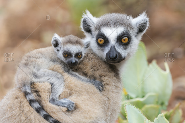 Africa, Madagascar, Anosy, Berenty Reserve. A baby ring-tailed lemur clinging to its mother's back.