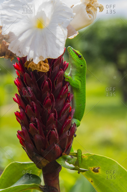 Madagascar, Ankarana. Green day gecko on a ginger flower.