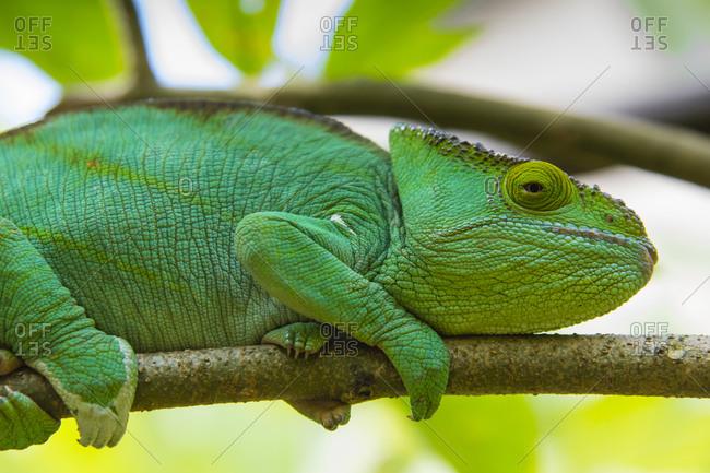 Madagascar, Marozevo, Peyrieras Reptile Farm. Parson's chameleon.