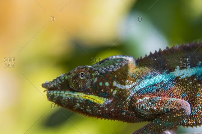 Madagascar, Marozevo. Peyrieras Reptile Farm, panther chameleon.