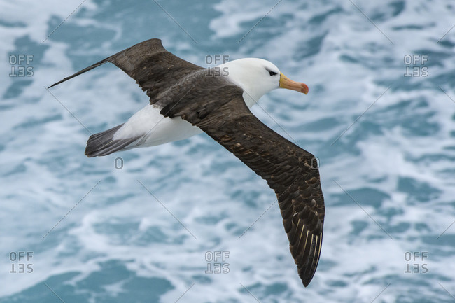 Antarctica, Drake Passage. Black-browed albatross soaring.
