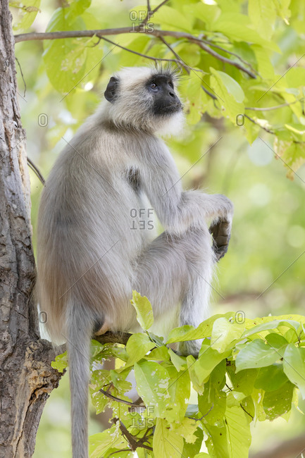 India, Madhya Pradesh, Kanha National Park. A northern plains langur resting in the trees.