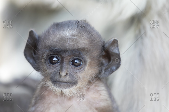 India, Madhya Pradesh, Kanha National Park. Headshot of a baby northern plains langur.