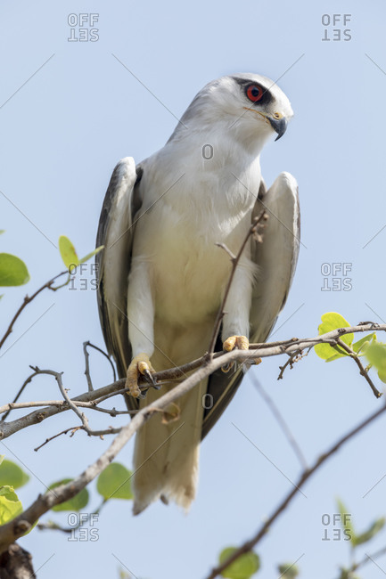 India, Madhya Pradesh, Kanha National Park. Portrait of a black-winged kite on a branch.
