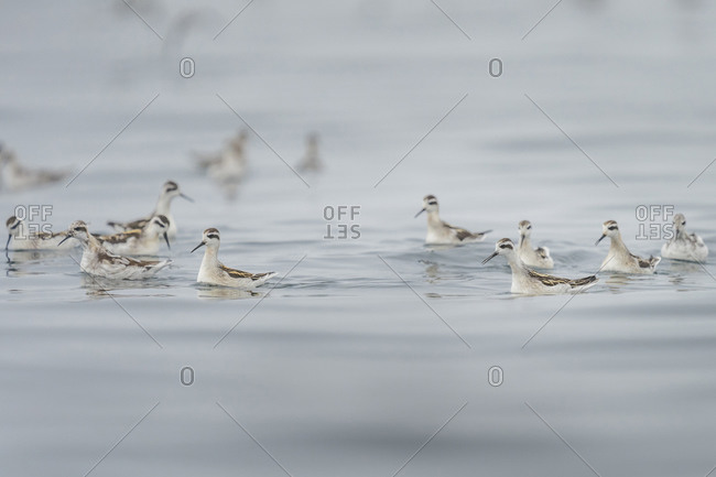 Canada. British Columbia. A flock of Red-necked phalaropes (Phalaropus lobatus) forage in Blackfish Sound during fall migration.