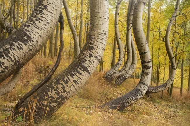 USA, Colorado, Uncompahgre National Forest. Deformed aspen trunks in forest.