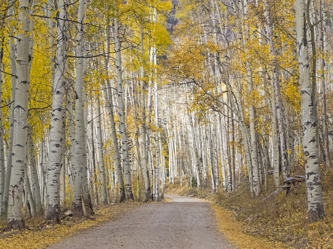 Colorado, Owl Pass, Crested Butte and aspen grove and dirt road in autumn colors