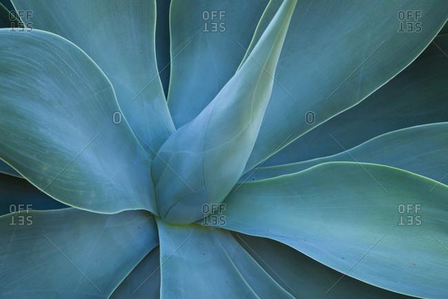 USA, Hawaii, Maui, Kula, agave plant design