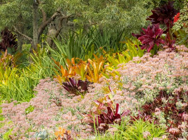USA, Hawaii, Maui, Up Country, Kula garden with Bromides