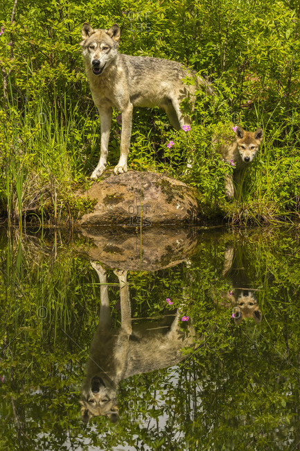 USA, Minnesota, Pine County. Wolf and pup reflect in pond.