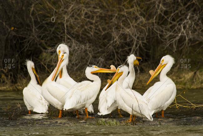 USA, Montana, Madison River. Flock of American white pelicans preening, pre-nesting fibrous protuberance on upper mandibles.