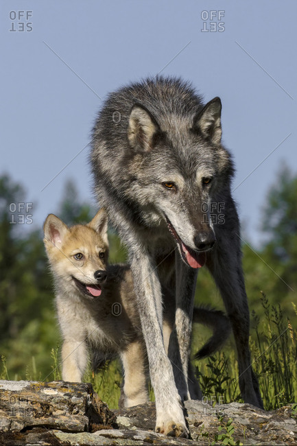 Wolf pup with adult female.
