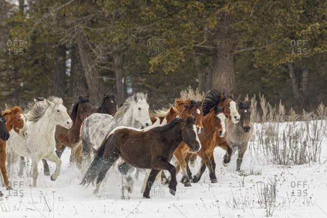 Herd of rodeo horses running through meadow in winter, Kalispell, Montana.