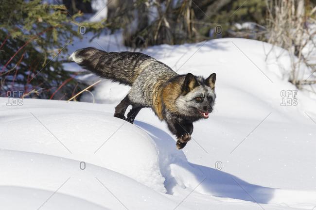 Cross fox a partially melanism form of the red fox, Montana.