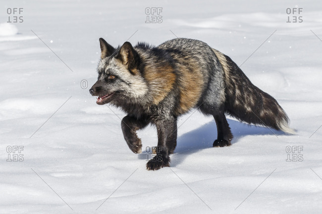 Cross fox a partially melanism form of the red fox, Montana.