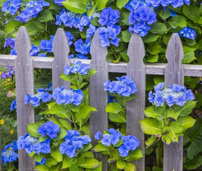 USA, Oregon, Cannon Beach, Northwest Hydrangea bloom Picket fence