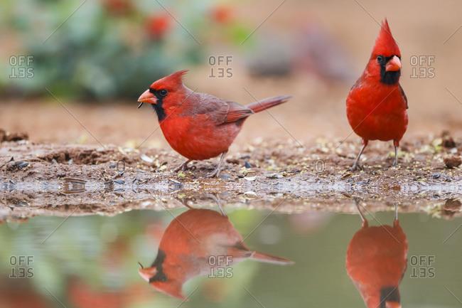 Northern cardinal feeding by pond.