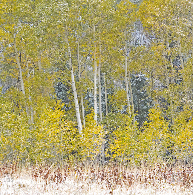 USA, Utah, Wasatch Mountain Range fresh autumn snows, Aspens just off of Highway 39 and Curtis Creek Rd.
