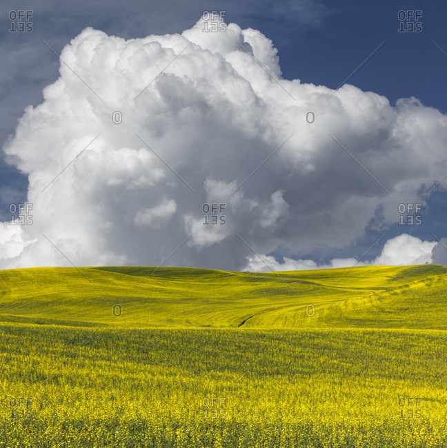 Expansive field of canola and cumulus clouds, Palouse agricultural region of Eastern Washington State.