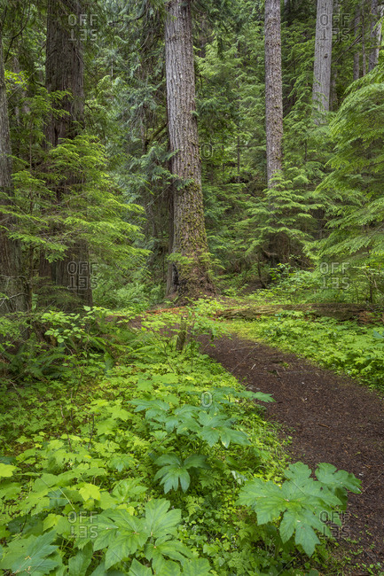 USA, Washington State, Olympic National Forest. Scenic with forest trail.
