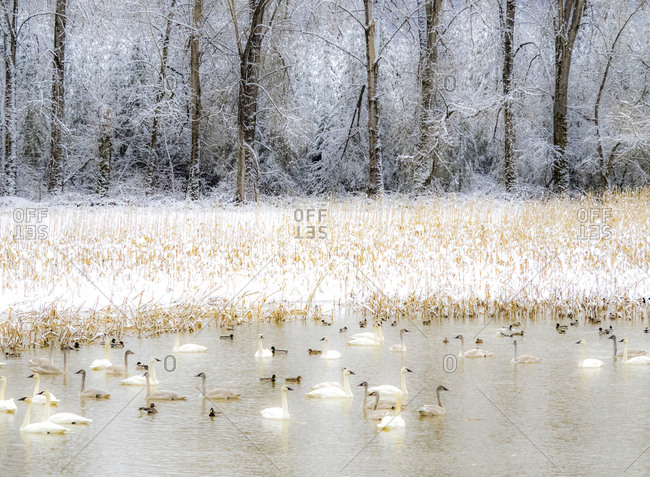 USA, Washington State, Fall City flooded pond with winters fresh snow and Trumpeter swans and ducks