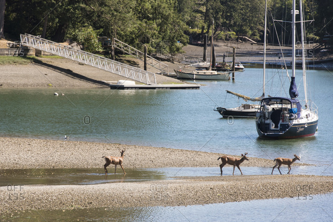 July 11, 2018: USA, Washington State, Bainbridge Island. Fletcher Bay at low tide. Black-tailed deer bucks wading.