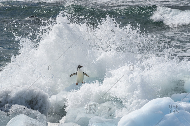 Antarctica, Antarctic Peninsula, Brown Bluff Adelie penguin, crashing wave.
