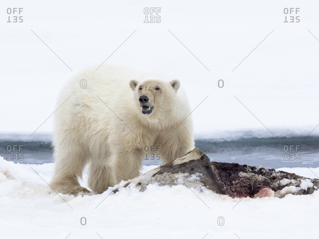 North of Svalbard, pack ice. A large male polar bear feeds on its carcass of a harp seal.