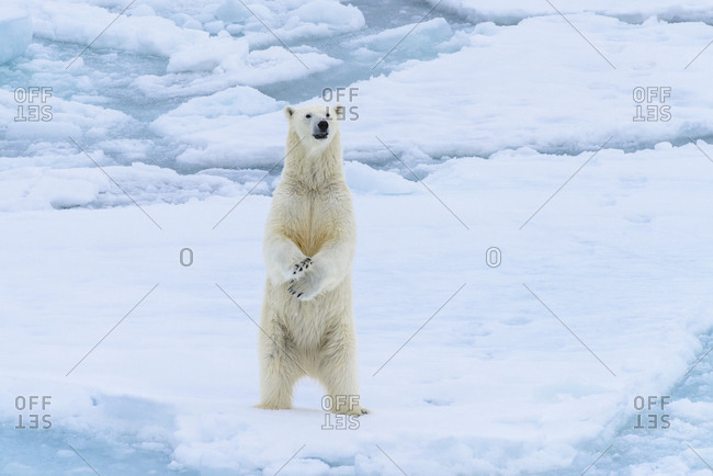 Norway, Svalbard. Sea ice edge, 82 degrees North, polar bear stands up.