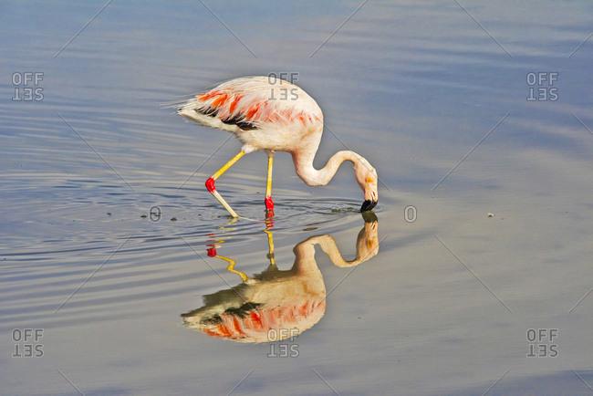 James Flamingo in Flamingo National Park, San Pedro de Atacama, Antofagasta Region, Chile