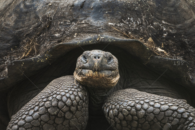 Ecuador, Galapagos Islands, Santa Cruz highlands. Galapagos giant tortoise portrait.