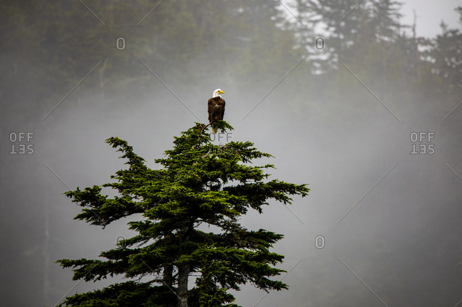Prince William Sound, Alaska, Valdez, Bald Eagle perched on evergreen tree