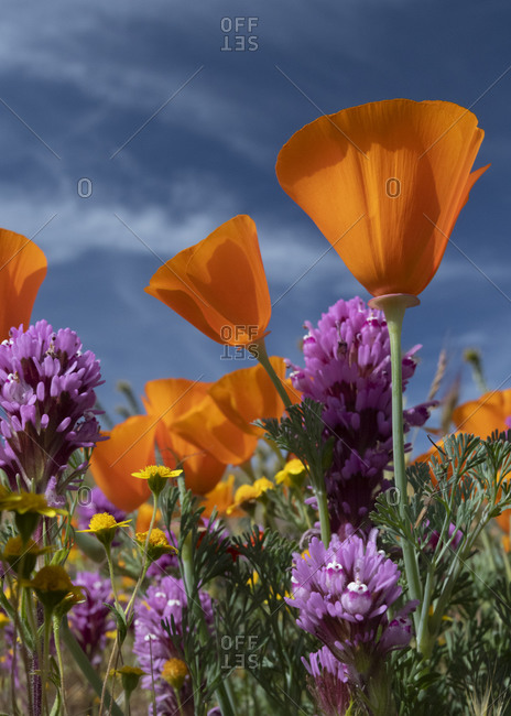 USA, California. California Poppy, Goldfields, Owl's Clover against the sky, Antelope Valley, California Poppy Reserve.